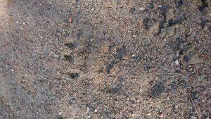Löpning, björnar, björnspår