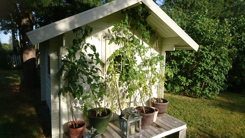 Tomater, Odla egna tomater