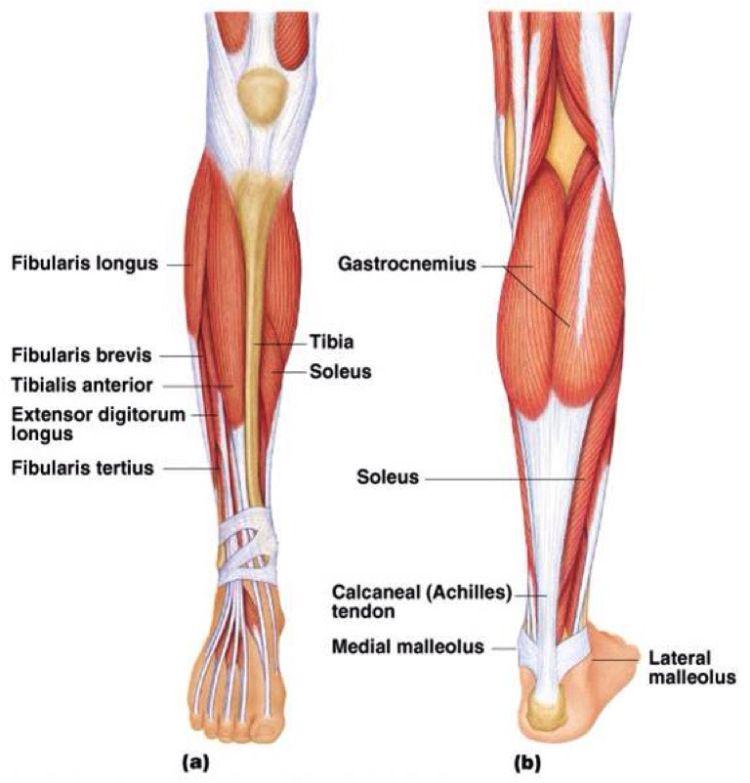 Vadmuskler, Muskler i underbenet